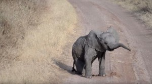 Baby Elephant Scratching His Itch, Falls Over, Mom Just Ignores Lol Cutest Thing Ever