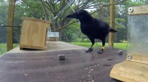 Extremely Smart Bird Solves Puzzle, Amazes Everyone