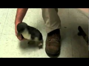 This Baby Penguin Just Won Our Hearts When He Ran Towards This Stranger!