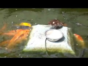 You HAVE To See What This Duckling Does To The Fishes!