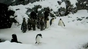 Hyper Penguin Dances To Heavy Metal, And Its Hilarious